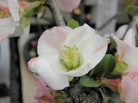 ボケ (植物)の画像 p1_35